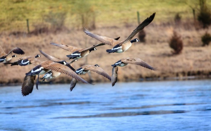 Flying-Geese-(DT–Alexey-Stiop)
