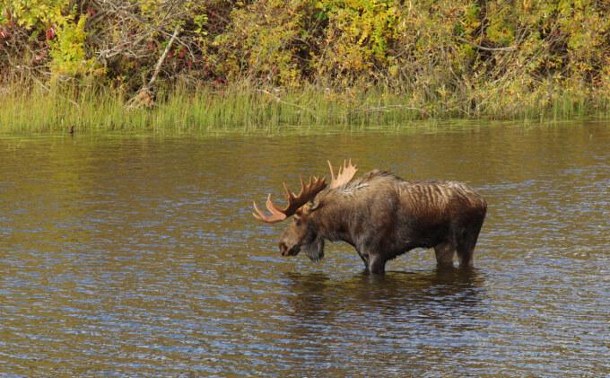 Bull-Moose-(DT—Wendy-Nero)_sm