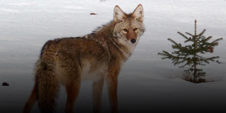 coyotehuntingontario