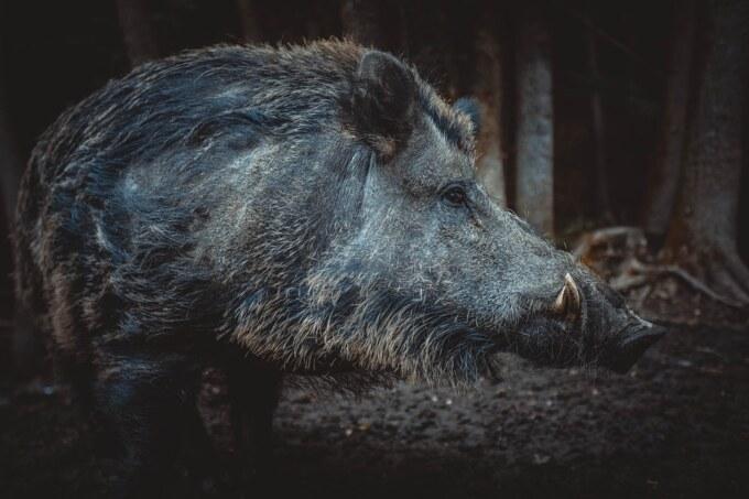 Wild Pig Photo 2