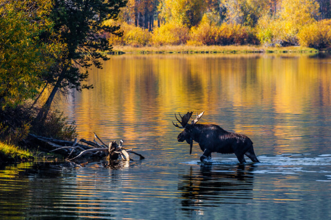 Moose walking through the river in the fall