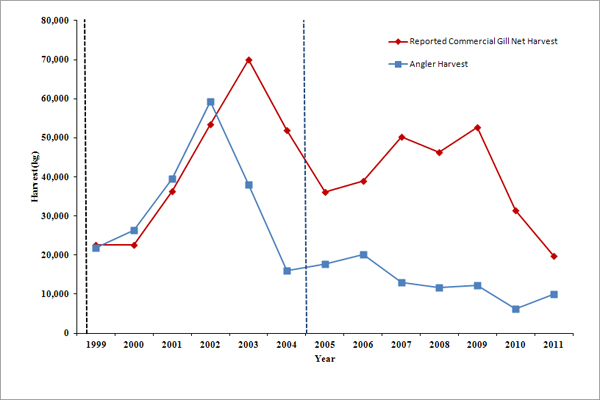 "FIGURE 1 – ""Reported"" Commercial Gill Net Harvest vs. Angler Harvest (1999 – 2011)"