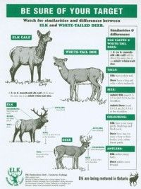 Difference Between Deer and Elk